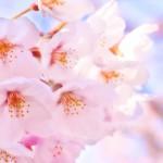 楽に楽しく!お花見に超便利なサイト&アプリ大特集